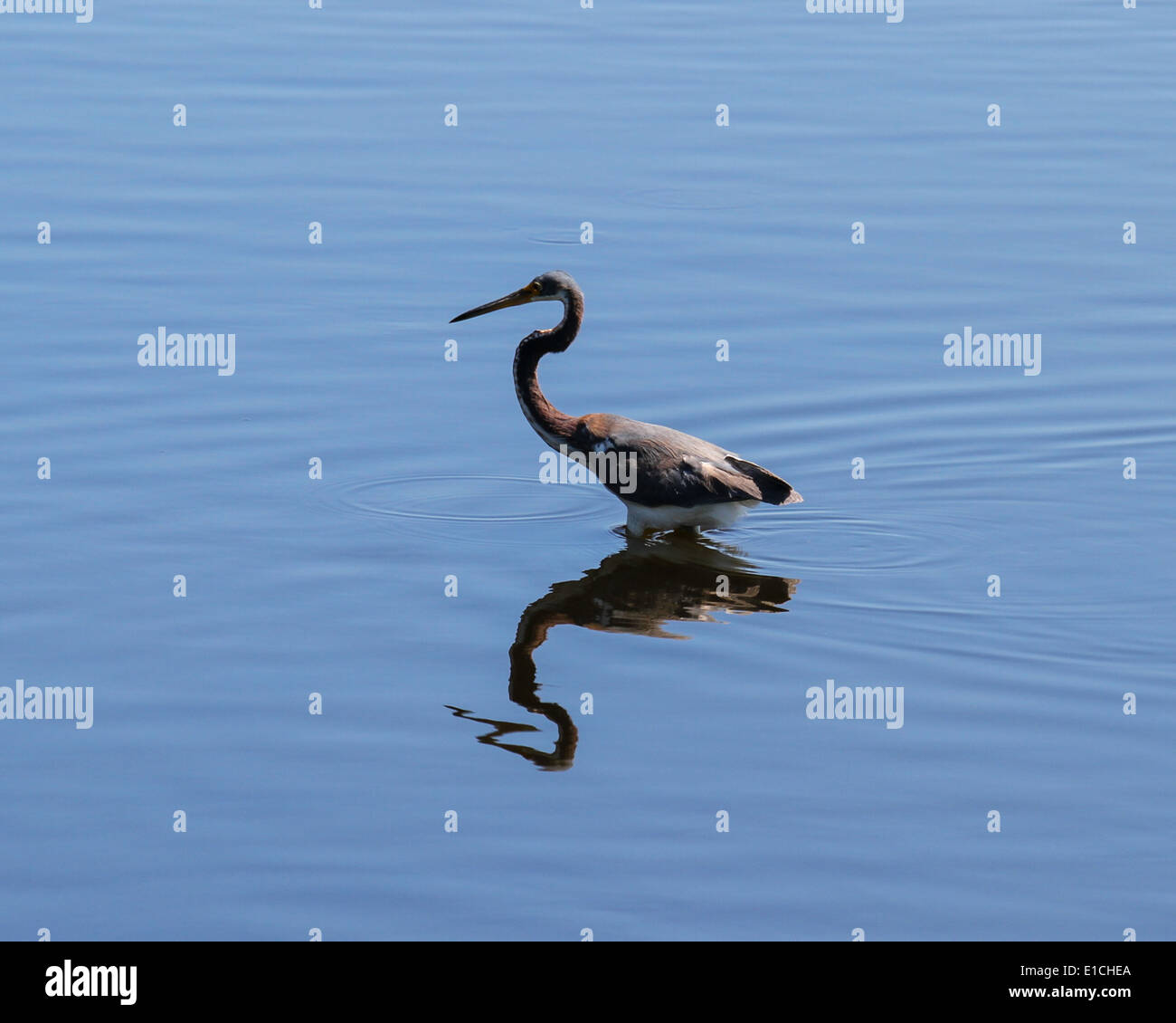 Tricolored Heron wading in shallows Stock Photo