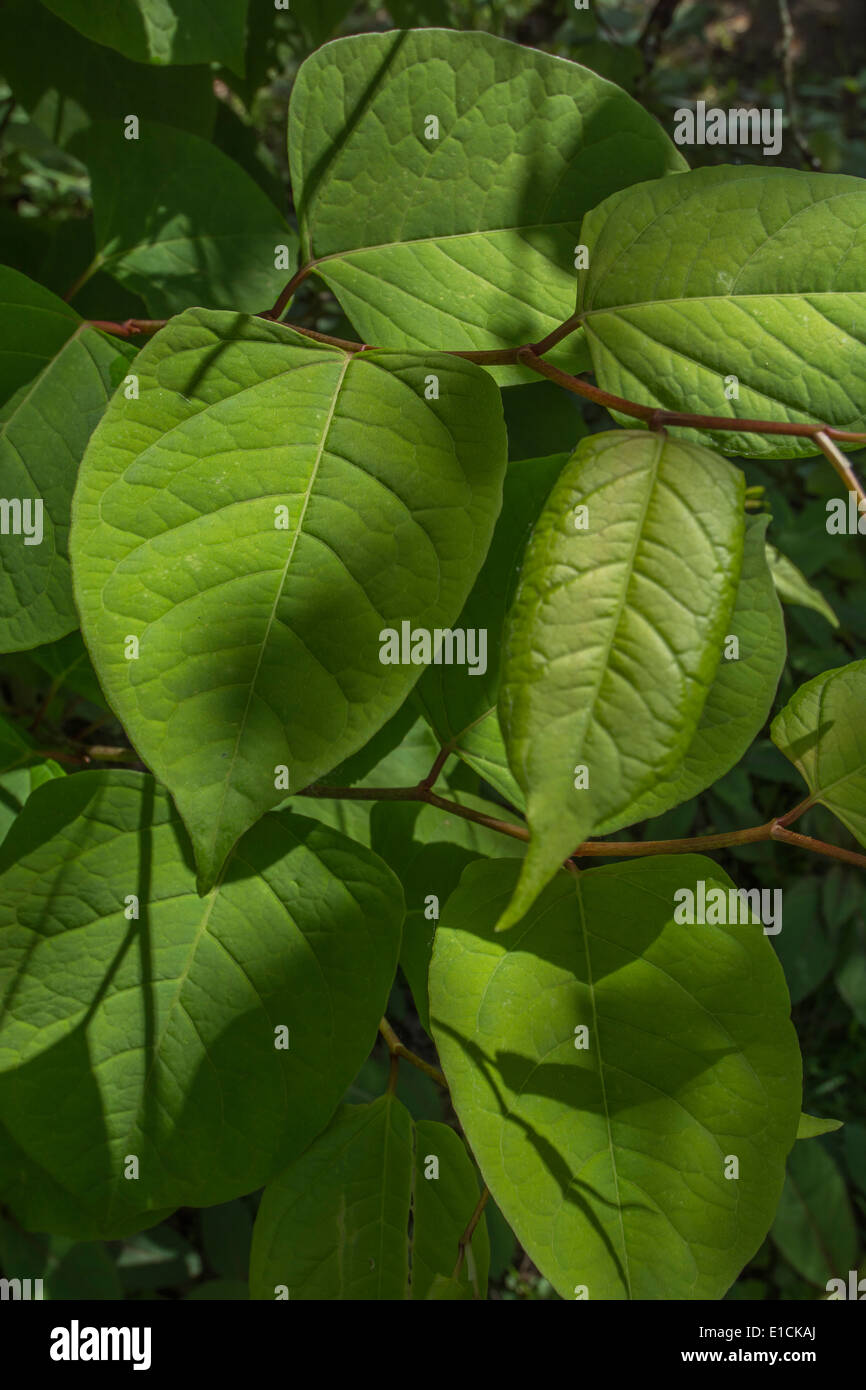 Japanese Knotweed 'Fallopia japonica' - leaves of the invasive and destructive plant. - Stock Image