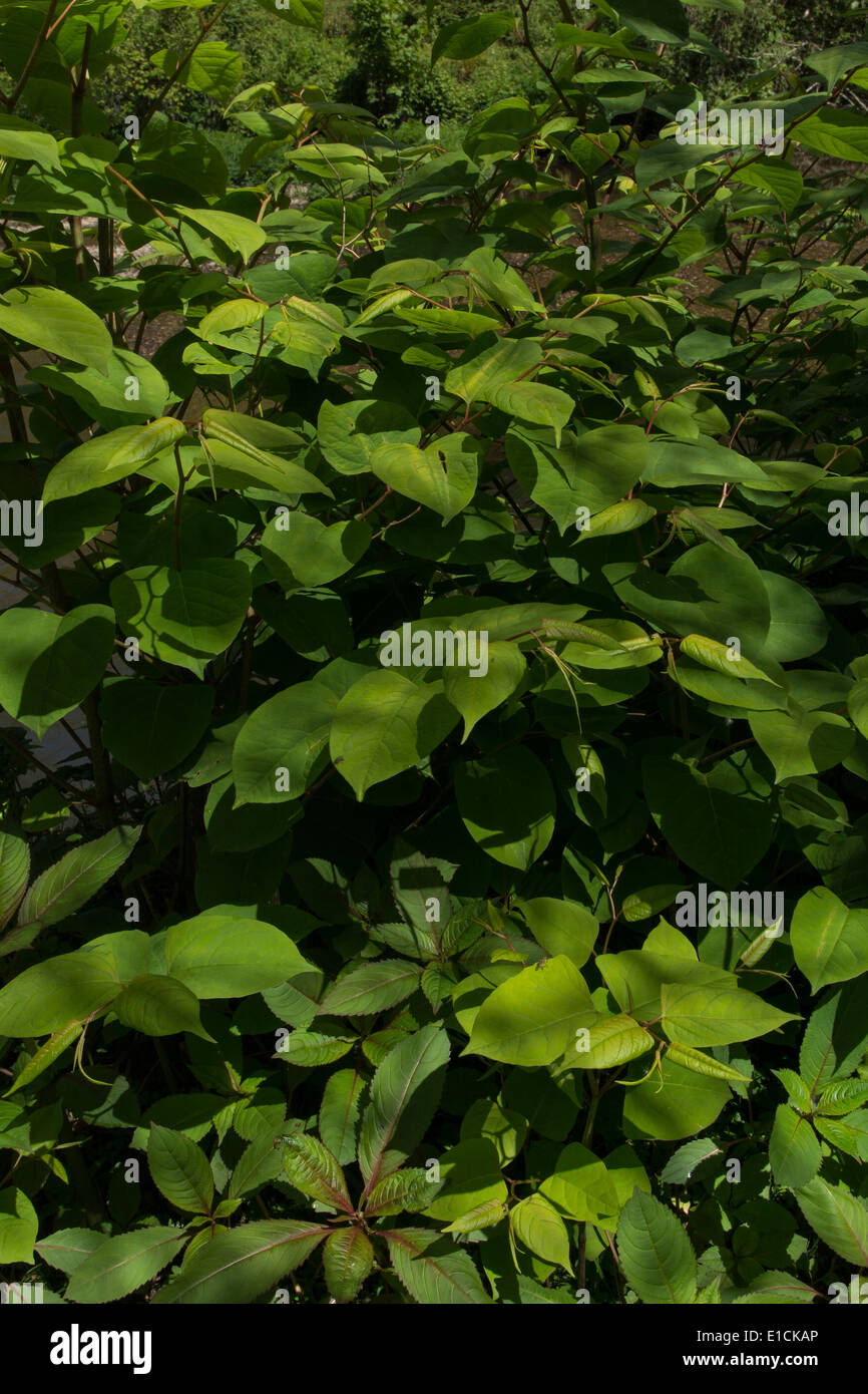 Japanese Knotweed 'Fallopia japonica' - foliage of the invasive and destructive plant. - Stock Image