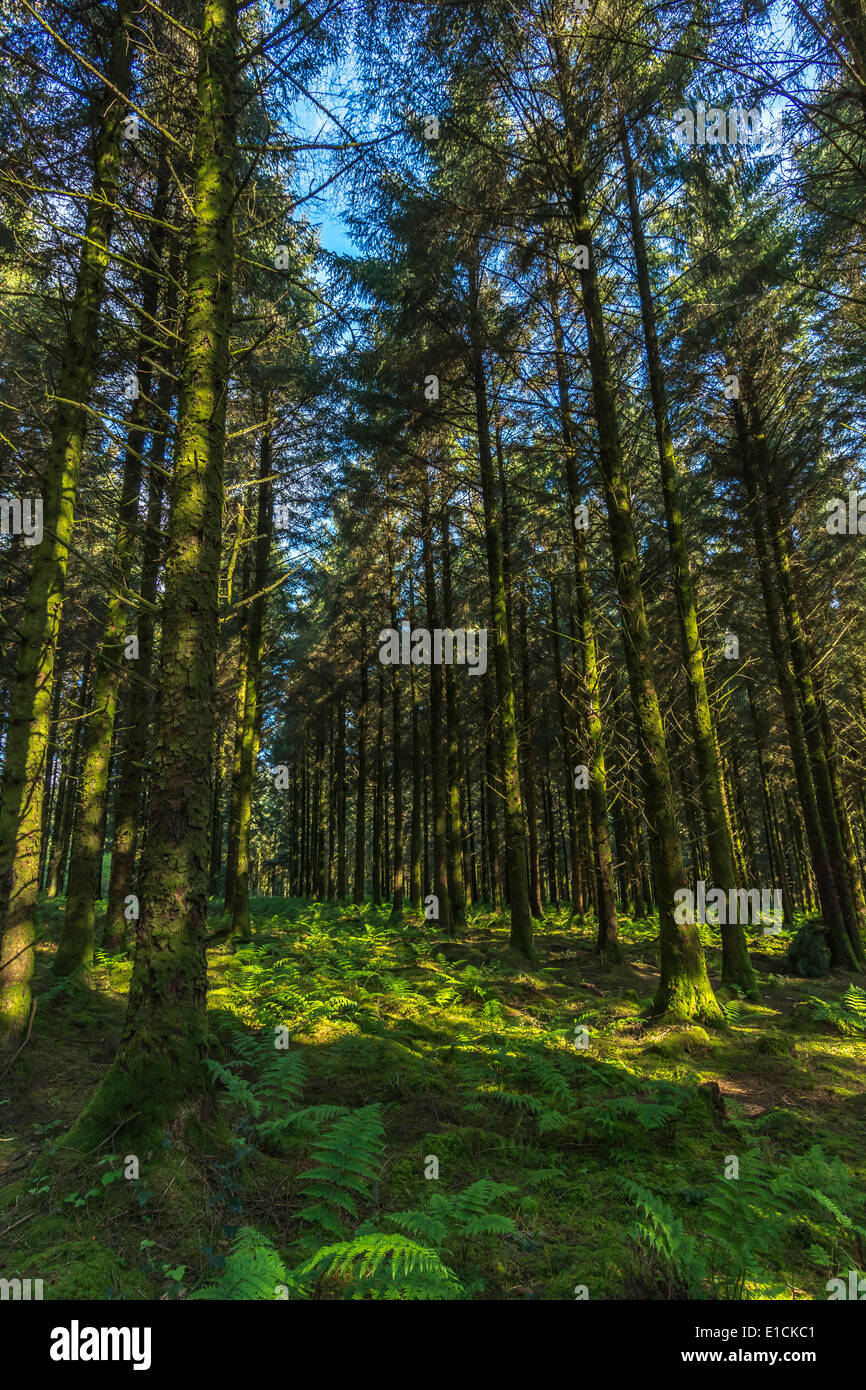 Larch forest in early morning. - Stock Image