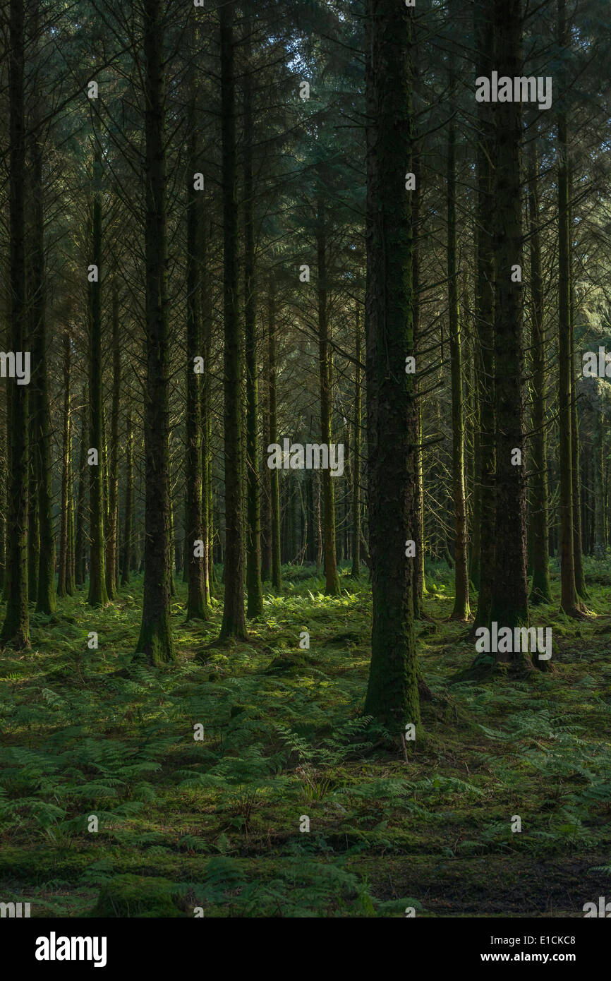 Larch forest in early morning - dim light penetrating tree canopy. - Stock Image