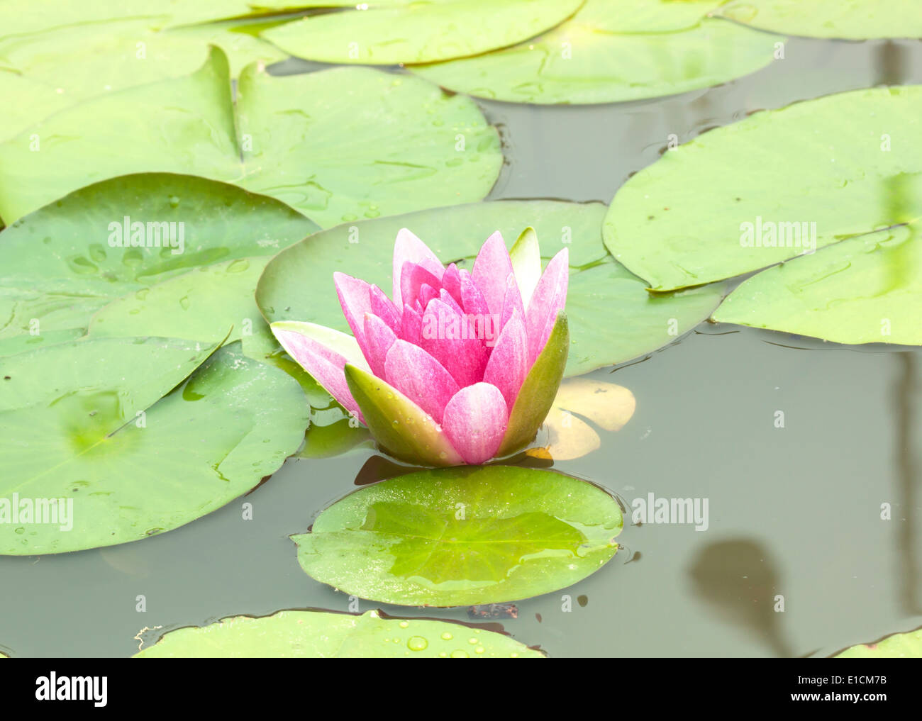 Image Of A Lotus Flower On The Water Stock Photo 69735439 Alamy