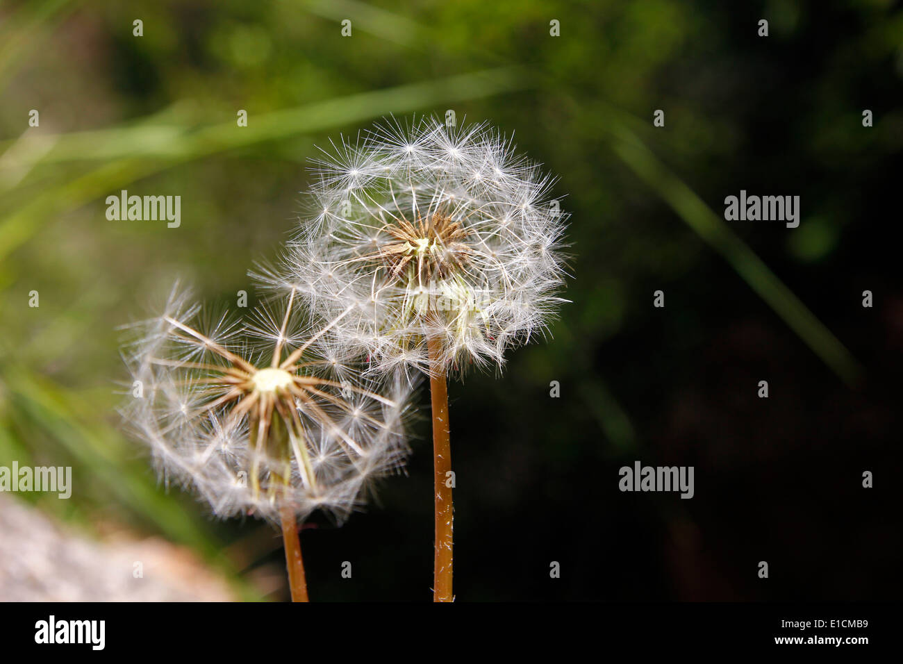 Two dandelions at spring, close-up Stock Photo