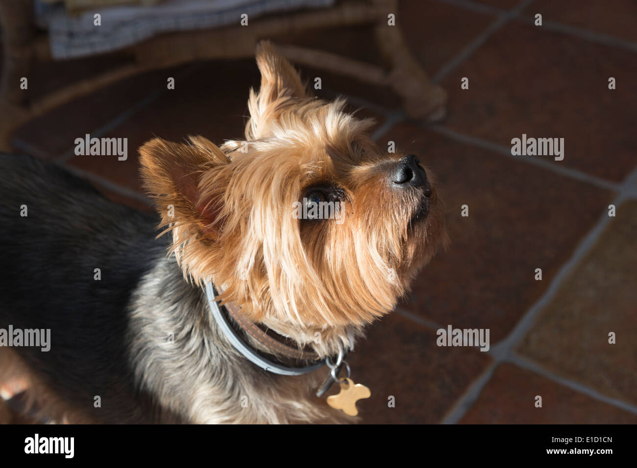 Yorkshire terrier, a small, appealing dog, looking up expectantly - Stock Image