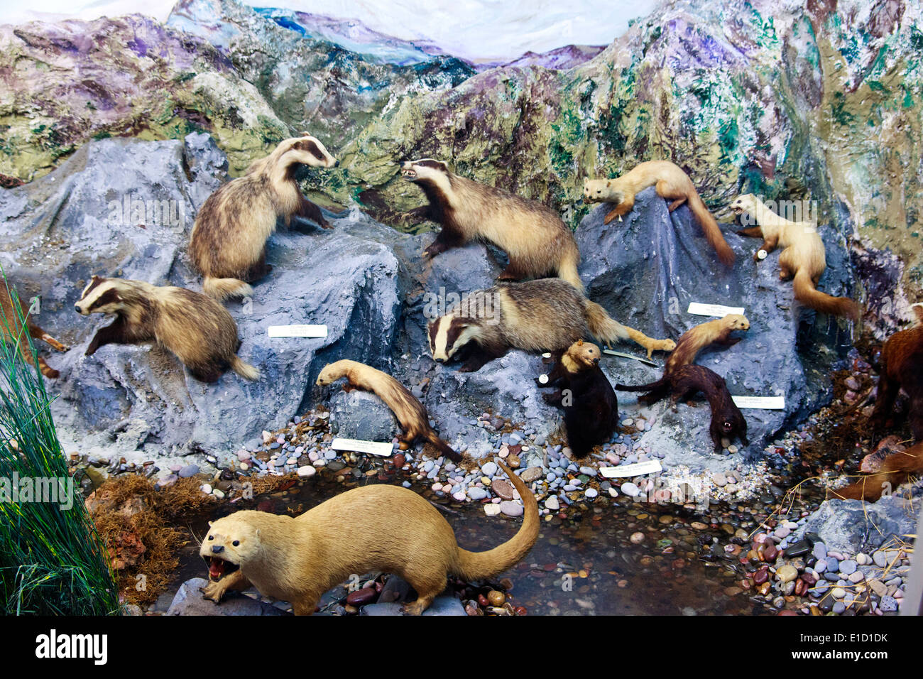 Badger and other mammals display in the 'El Carmen' Natural Science Museum in Onda, Spain - Stock Image
