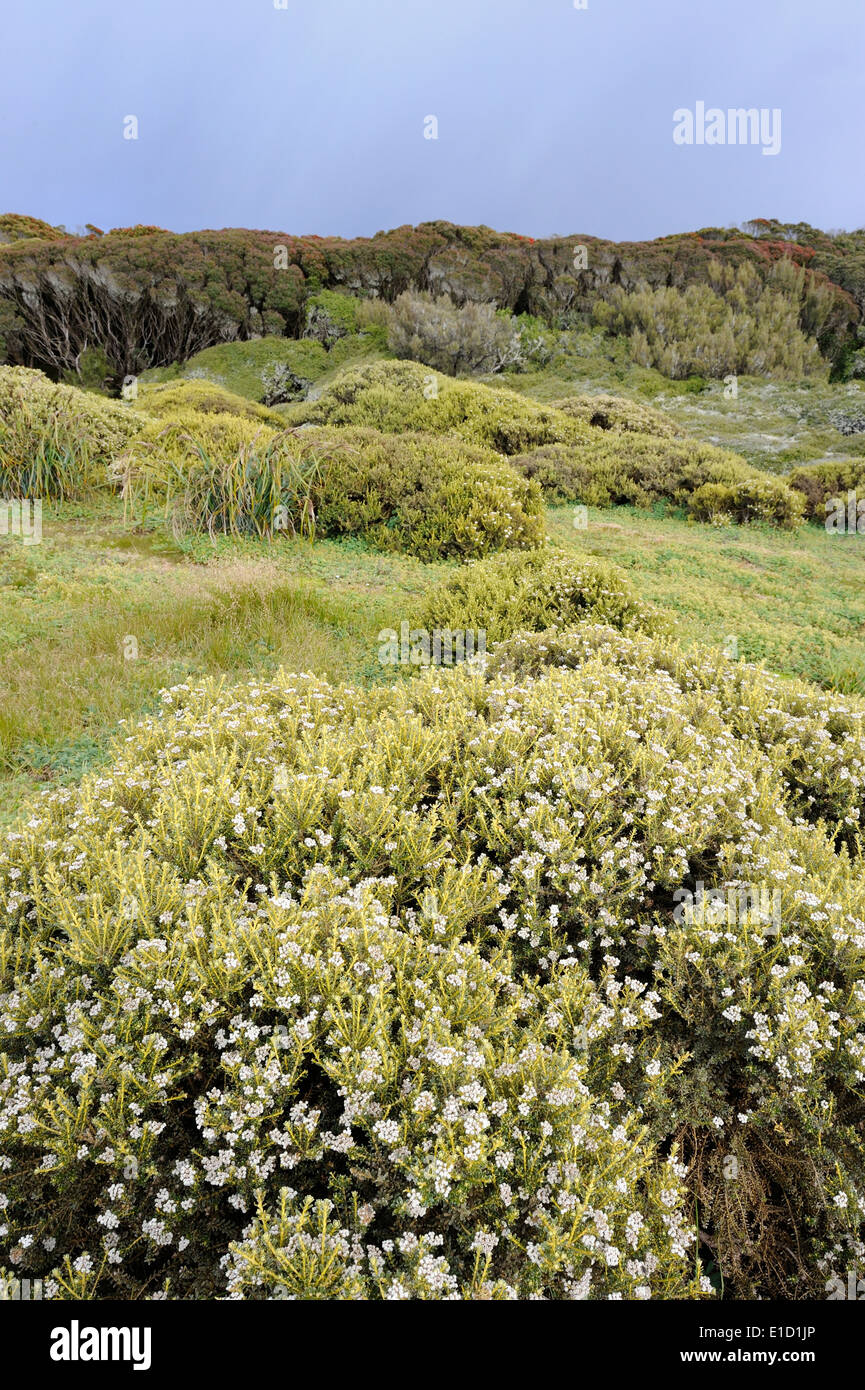 Bushes and forest on the sub-Antarctic Enderby island. - Stock Image