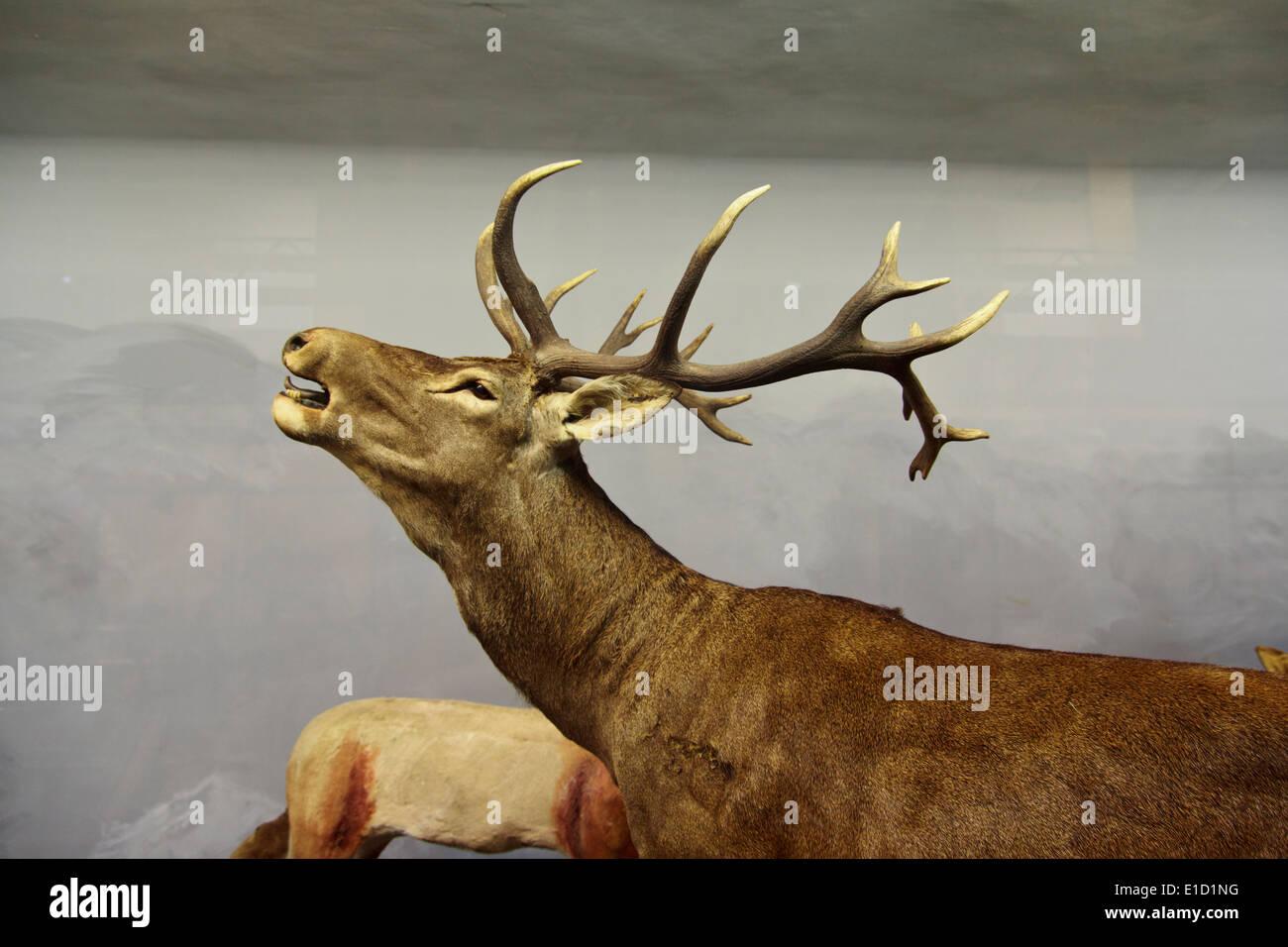 Wild Stag Display in the 'El Carmen' Natural History Museum in Onda, Spain - Stock Image
