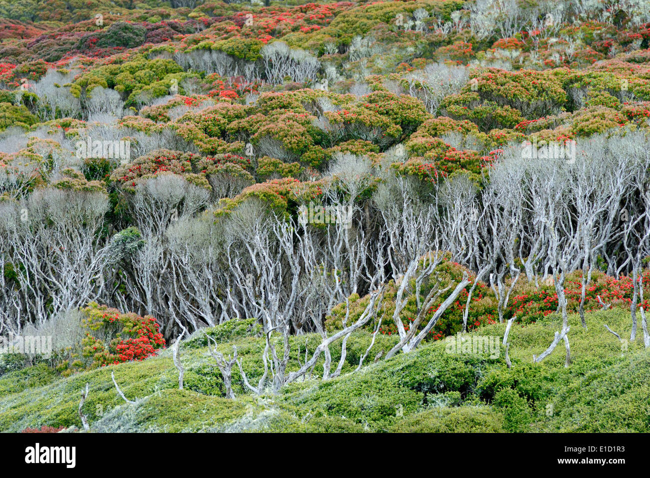 View of a Sub-antarctic forest, blooming in summer. - Stock Image