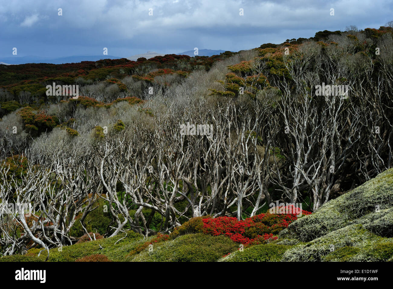 View of a Sub-antarctic forest, blooming in summer. Stock Photo