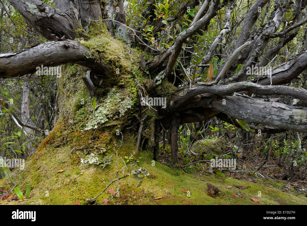 Sub-Antarctic tree in forest on Enderby island. Stock Photo