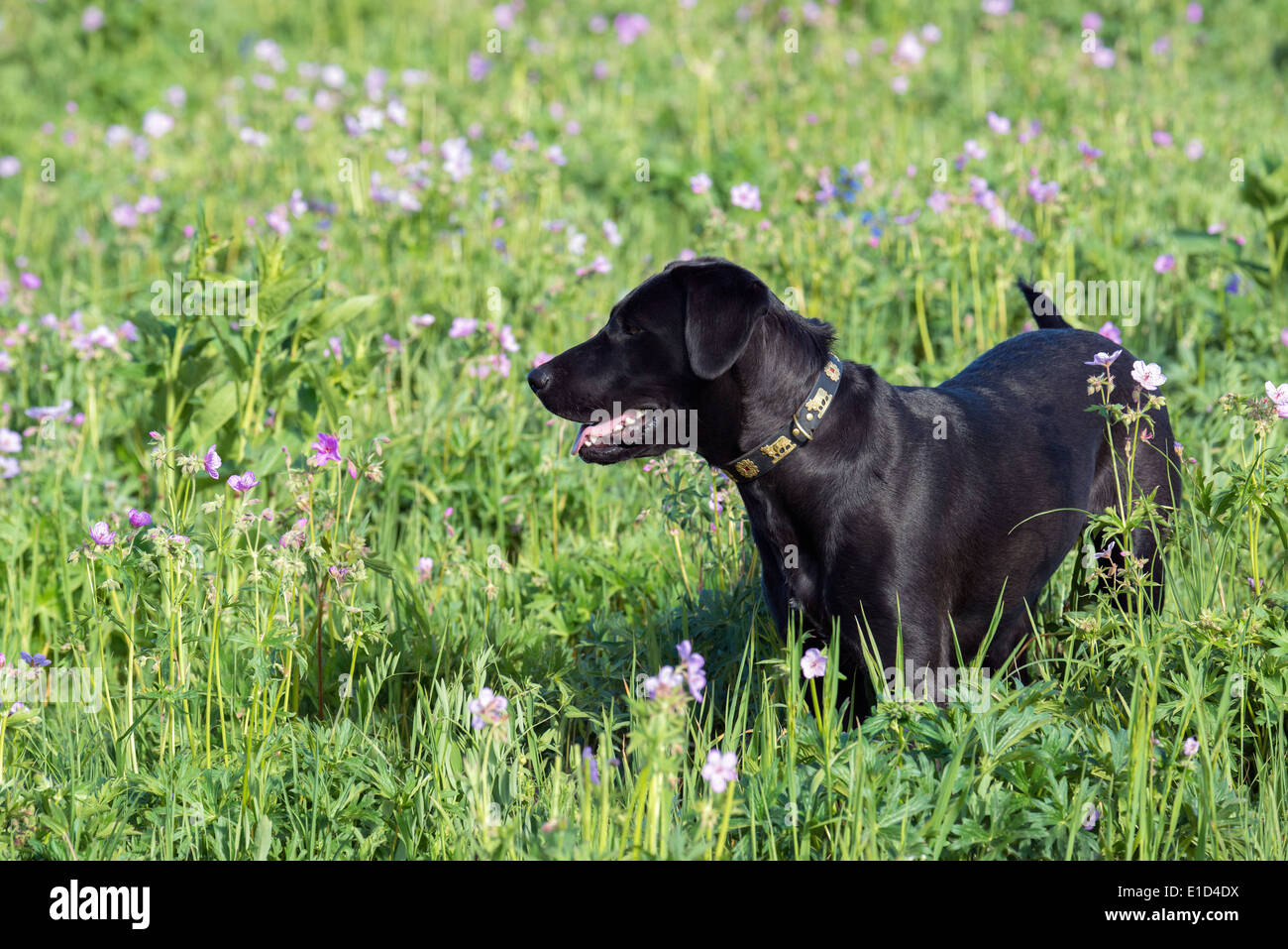 A black labrador dog in tall meadow grass. Stock Photo
