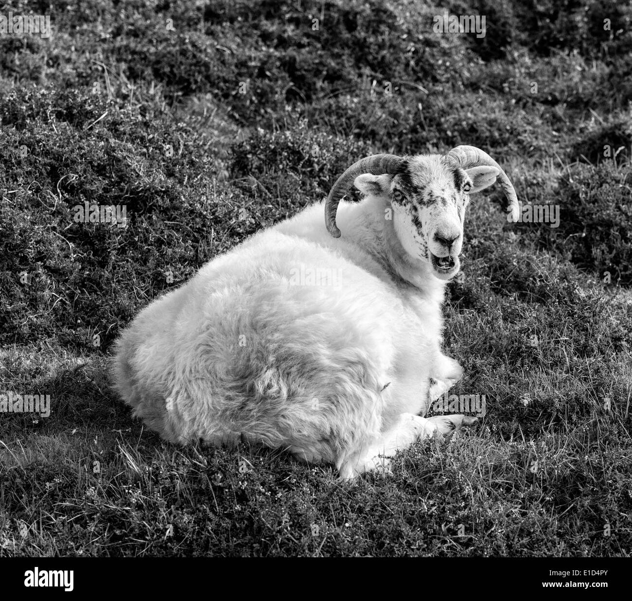A happy looking sheep near Leverborough, on the Island of South Harris - Stock Image