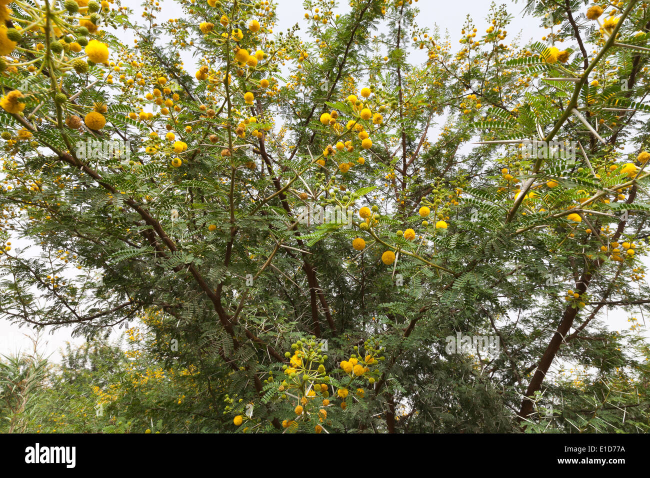 Detail of a Vachellia farnesiana bush with yellow flowers and spines - Stock Image