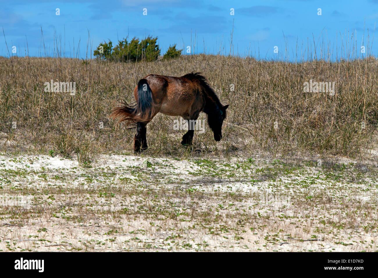 Wild Horses of Shackleford Banks - Stock Image