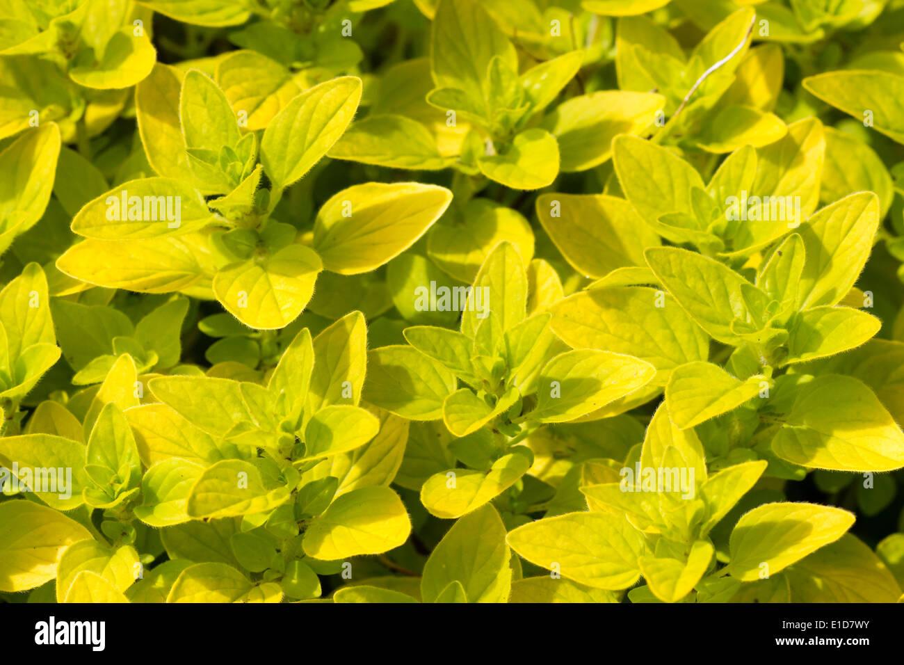 Golden foliage of Origanum vulgare 'Aureum', golden marjoram - Stock Image