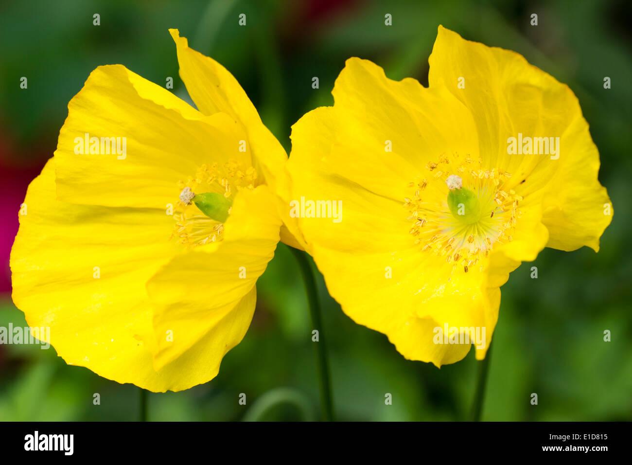 Yellow poppy uk stock photos yellow poppy uk stock images alamy two flowers of the yellow single form of the welsh poppy papaver cambricum stock mightylinksfo