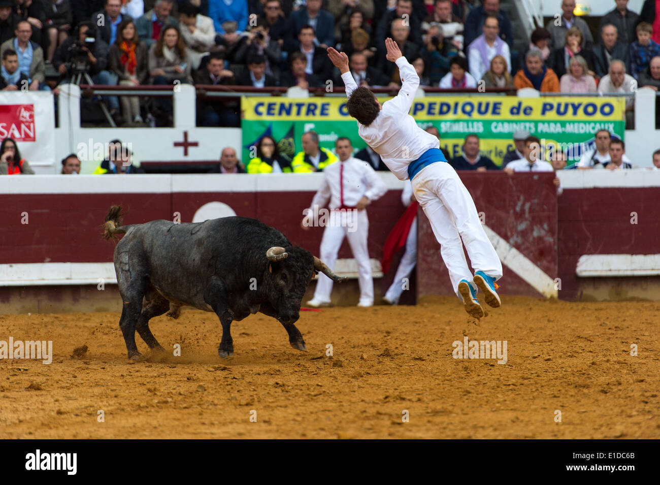 """Dax, Aquitaine, France, 31 May 2014: Competitors dodge, weave and vault charging bulls in the """"Course Landaise"""" Stock Photo"""