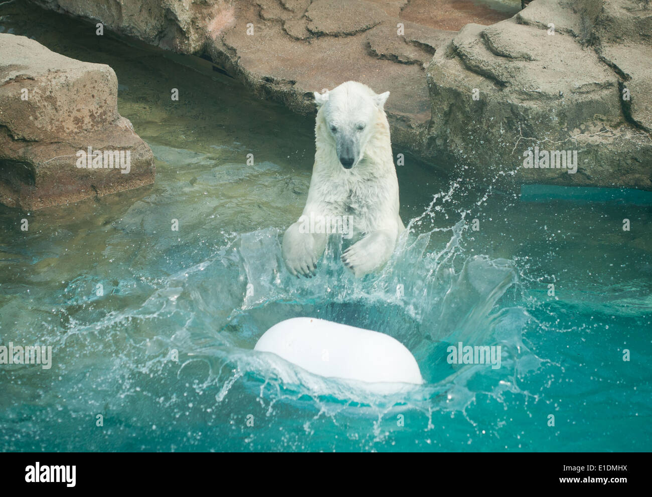 Anana, the resident Polar bear (Ursus maritimus) of Lincoln Park Zoo in Chicago, Illinois, plays in the water on a summer's day. - Stock Image