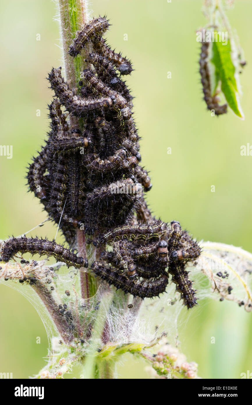 Caterpillars of the small tortoiseshell butterfly, Aglais urticae, feeding on a nettle - Stock Image