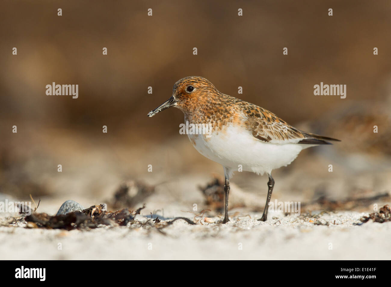 Sanderling Calidris alba in summer plumage photographed at Balranald, North Uist, Outer Hebrides, Scotland in May. - Stock Image