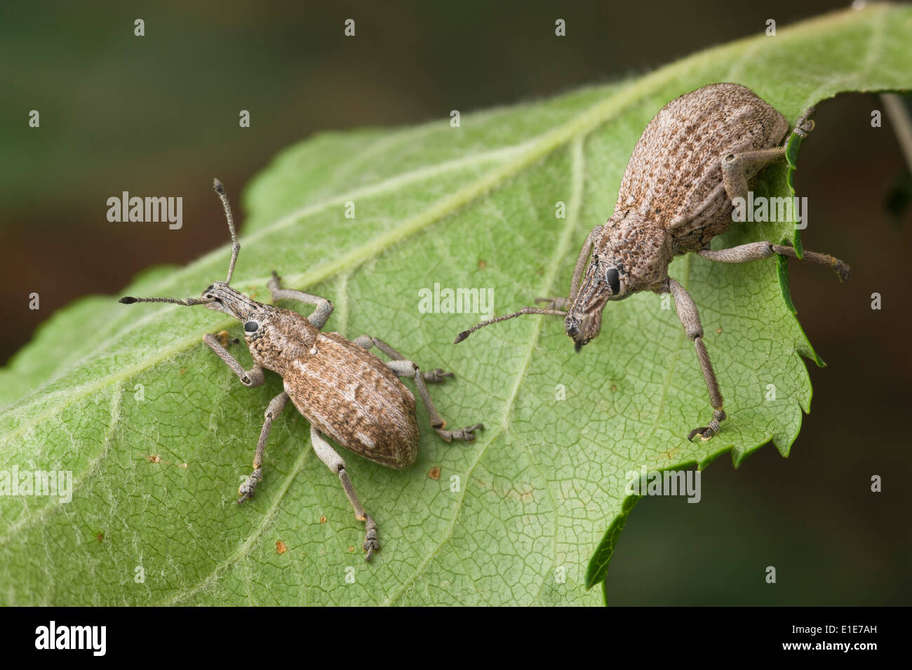 Fruit-tree root weevil, also known as apple root borer, is a native insect of Australia - Stock Image