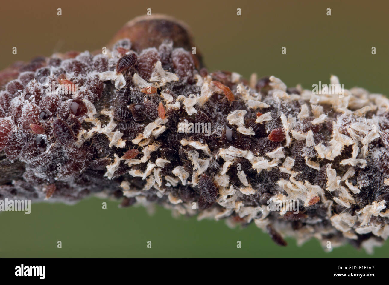 Immature Australian gumtree scale insects - Stock Image