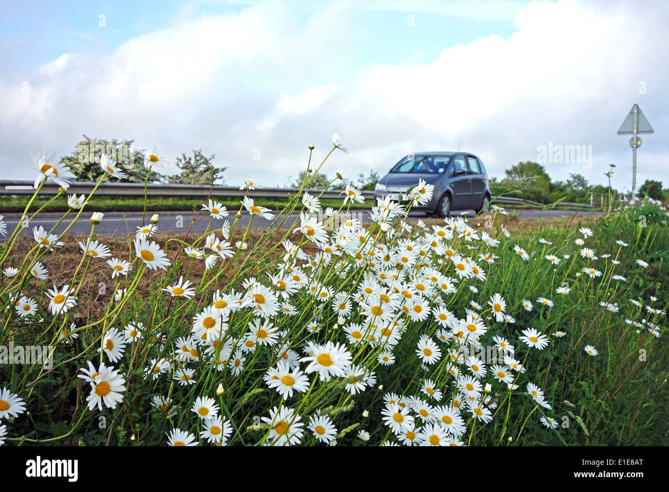 oxeye daisies growing by the roadside in cornwall, uk Stock Photo