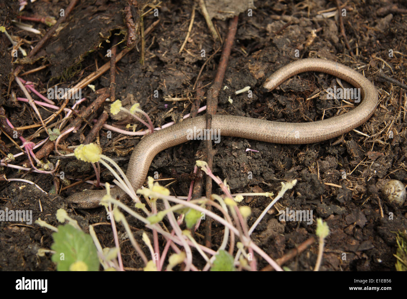 Male Slow-worm Stock Photo