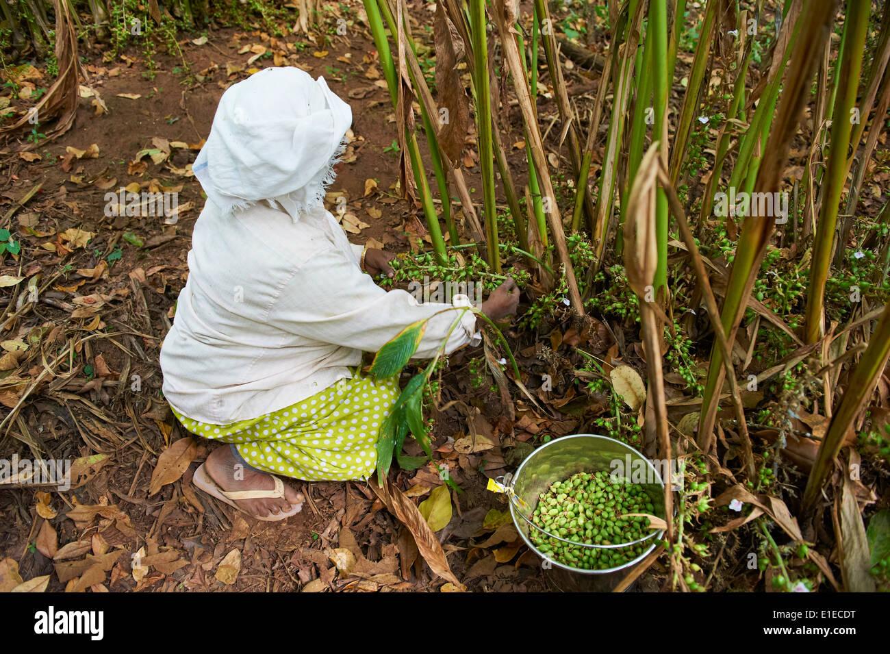 India, Kerala state, Munnar, collect of cardamom - Stock Image
