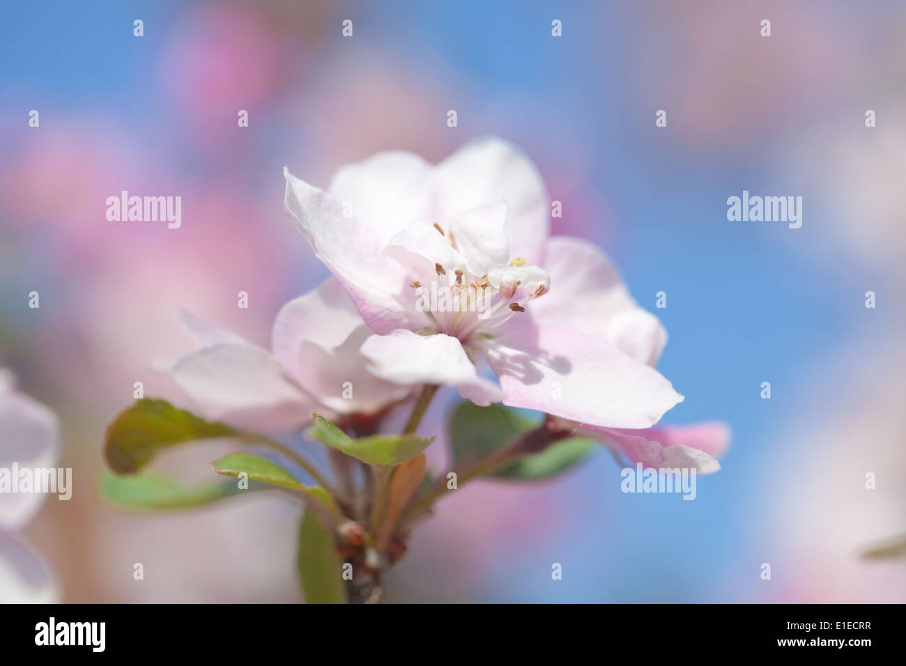 crabapple flowers natural background Stock Photo: 69773531