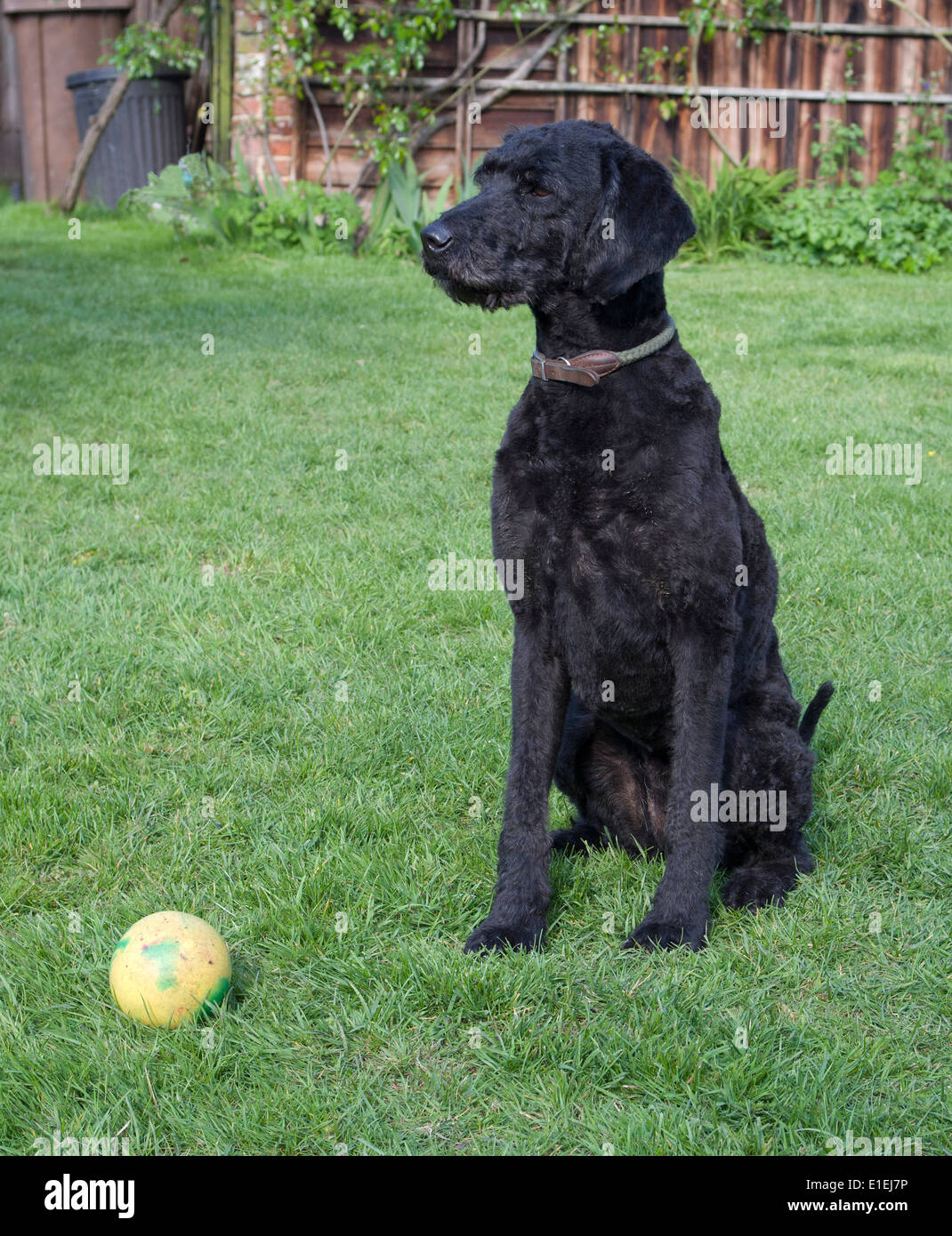 Black Labradoodle recently clipped on lawn with ball - Stock Image