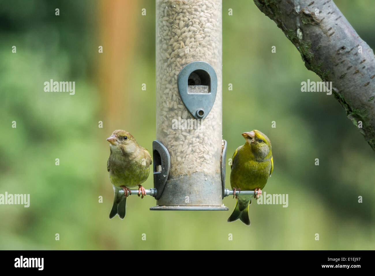 Male and Female Greenfinches on a Bird Feeder - Stock Image