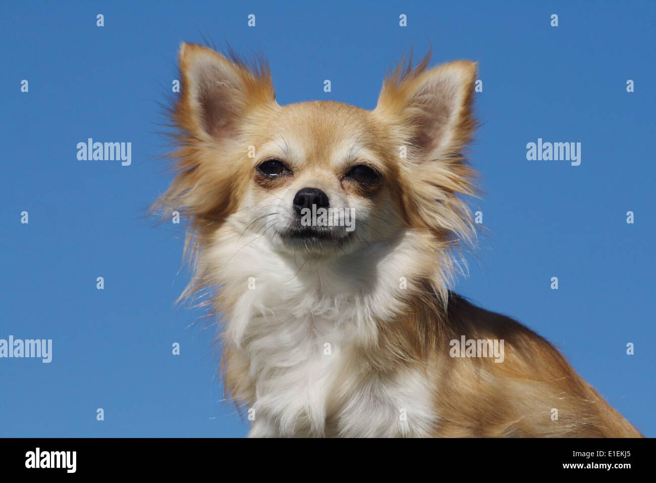 Chihuahua Langhaar Portrait am blauen Himmel - Stock Image