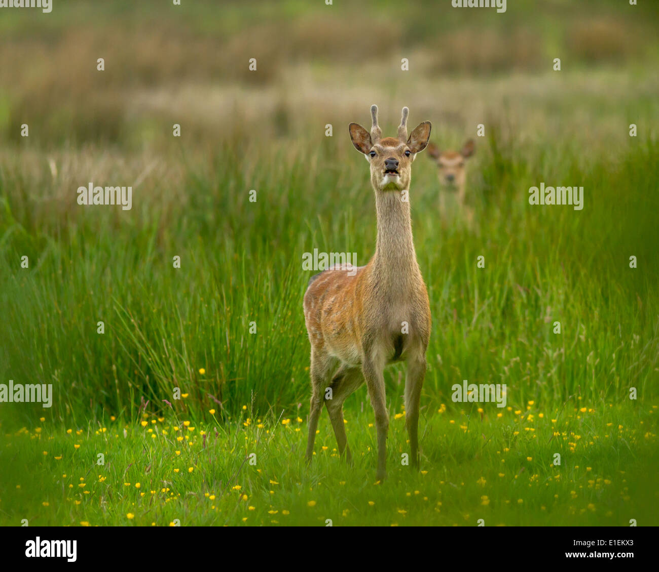 Sika deer with fawn, Arne, UK - Stock Image