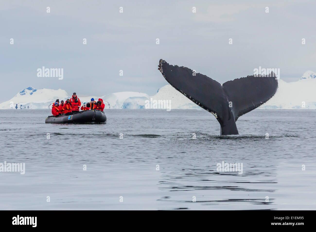 Humpback whale (Megaptera novaeangliae), flukes-up dive near whale watchers in the Enterprise Islands, Antarctica, Polar Regions - Stock Image