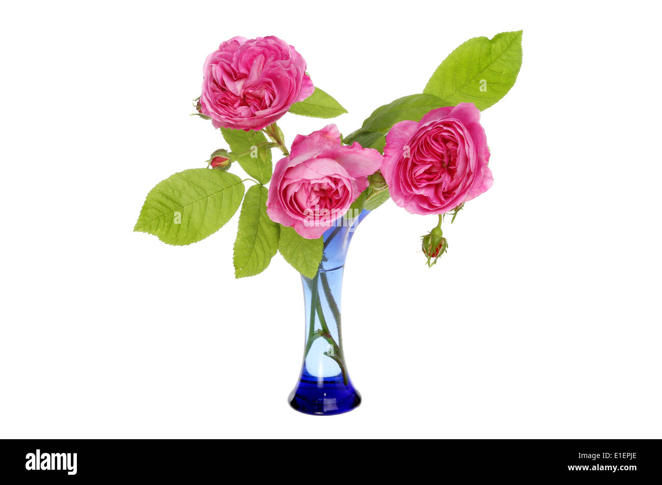 Arrangement of magenta roses in a blue glass vase isolated against white - Stock Image