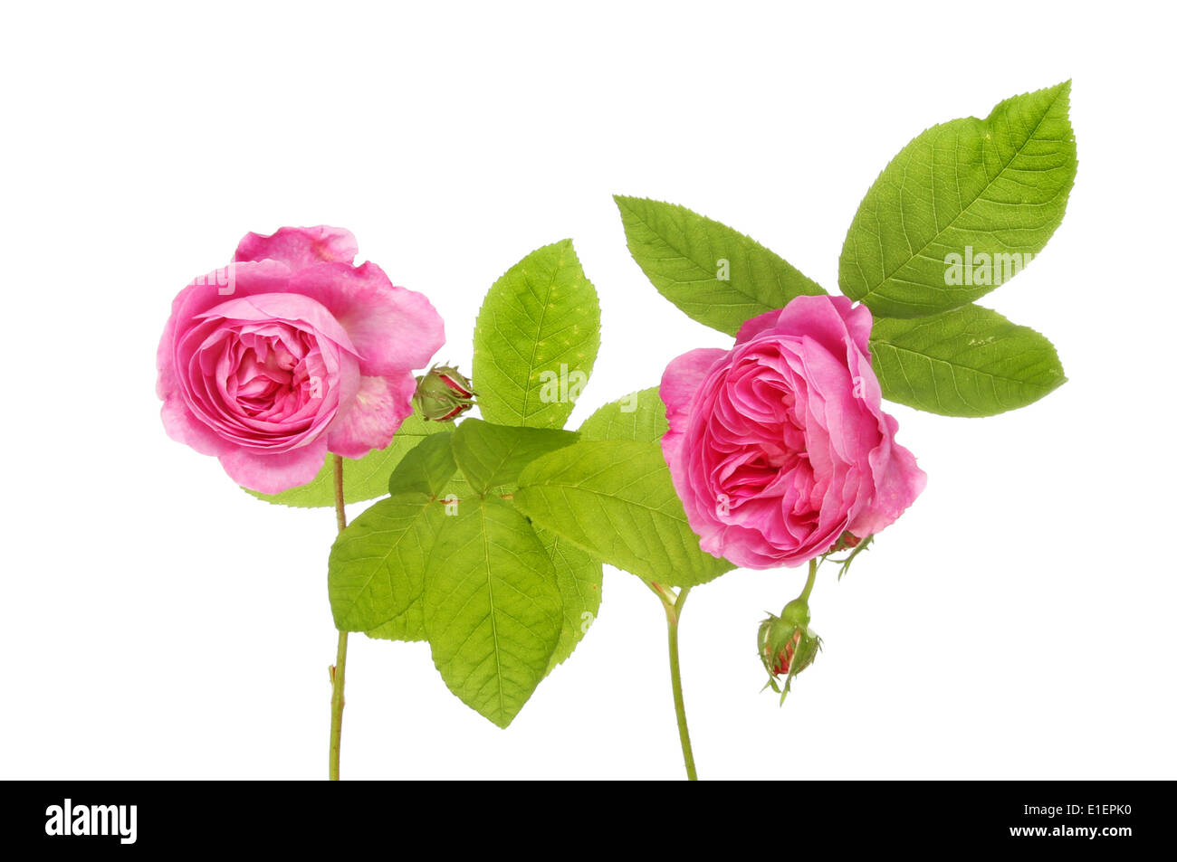 Two magenta rose flowers and foliage isolated against white - Stock Image