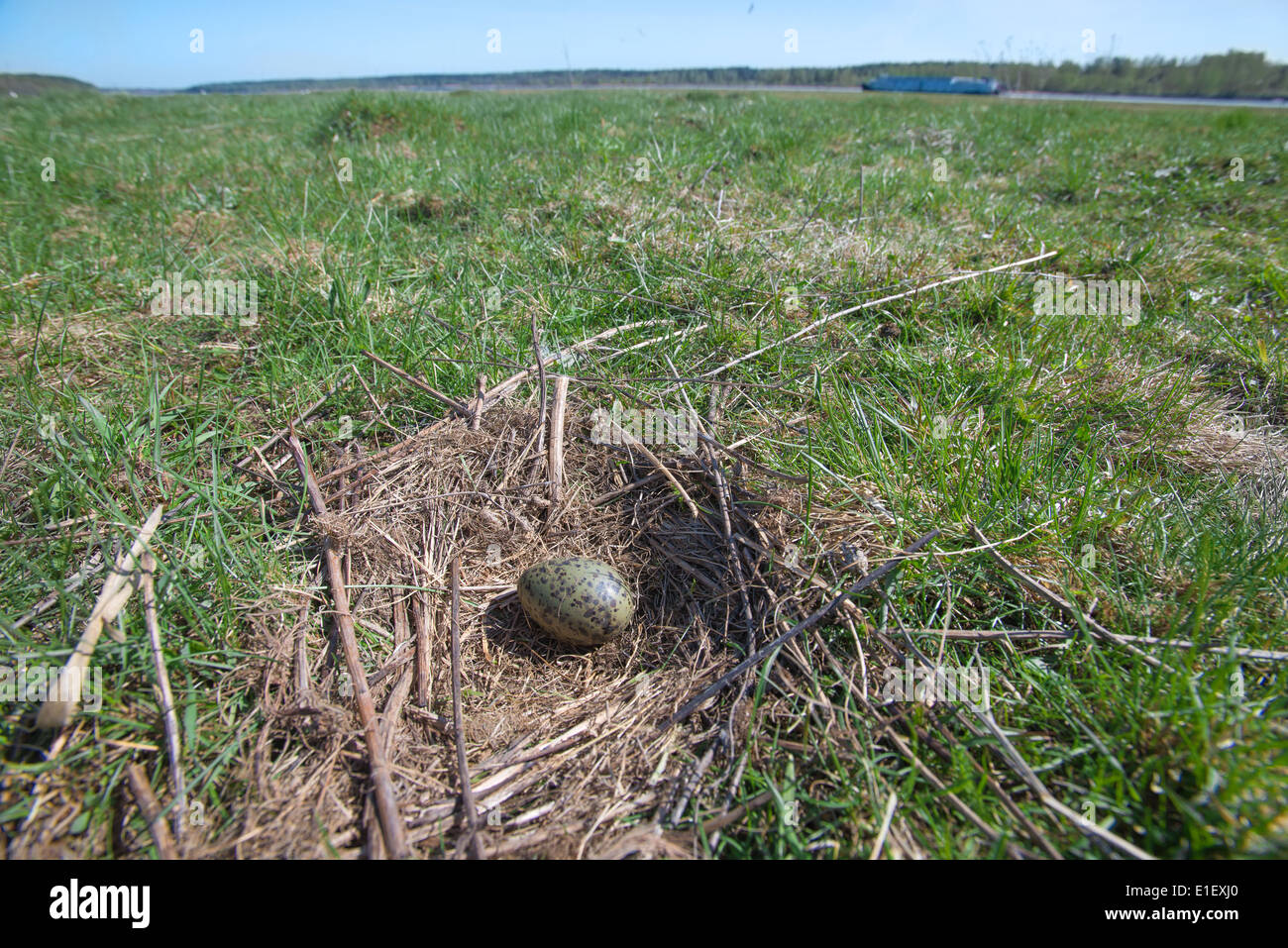 The nest of the Common Gull (Larus canus) in the wild. - Stock Image
