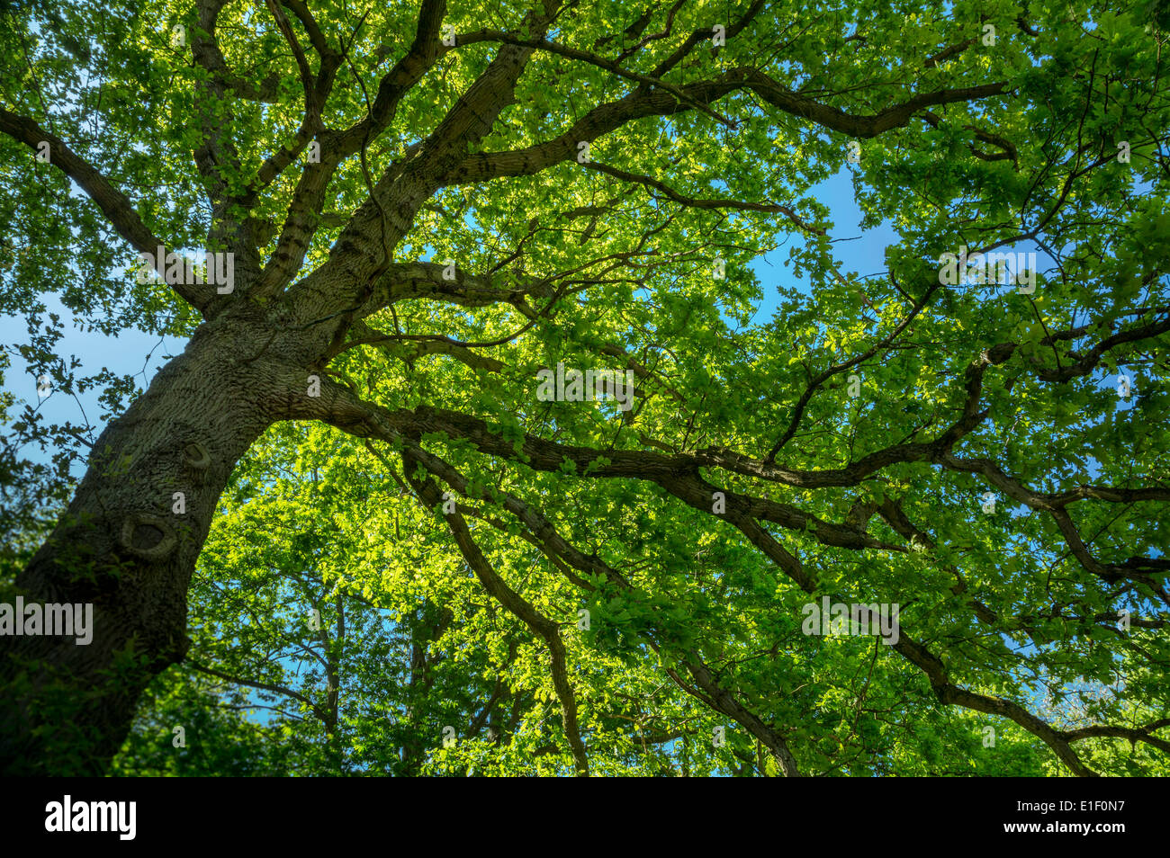 The view beneath the Canopy of a huge English Oak tree - Stock Image
