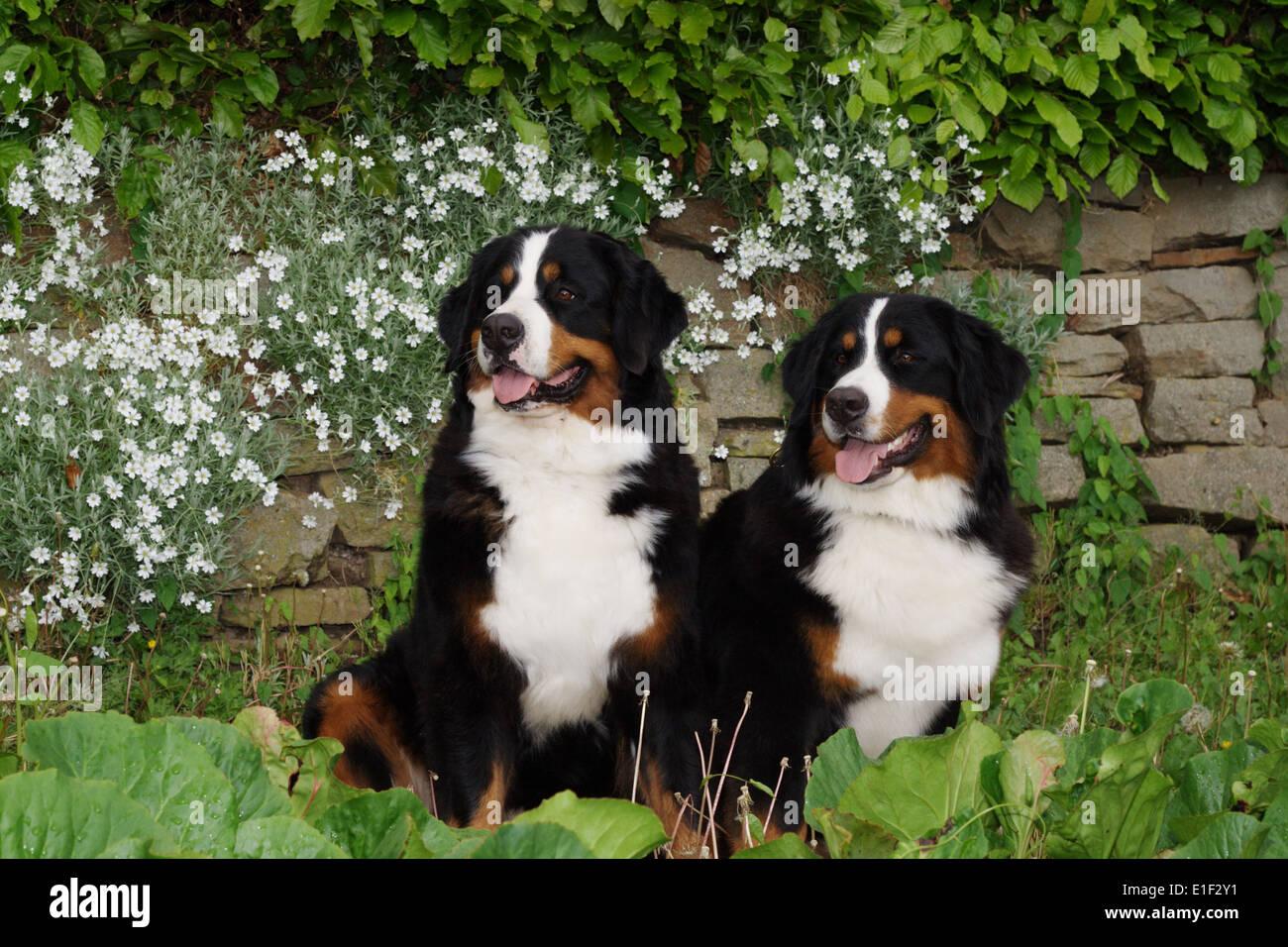Zwei Berner Sennenhunde sitzen im Garten vor einer einer Mauer mit weißen Blumen - Stock Image