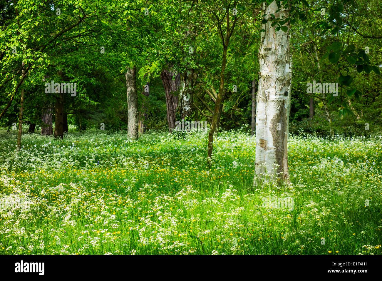 Woodland flowers Springtime silver birch tree Betula - Stock Image