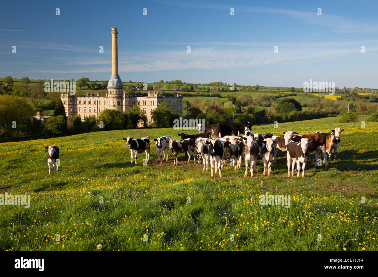 Bliss Mill with Buttercups and cows - Stock Image