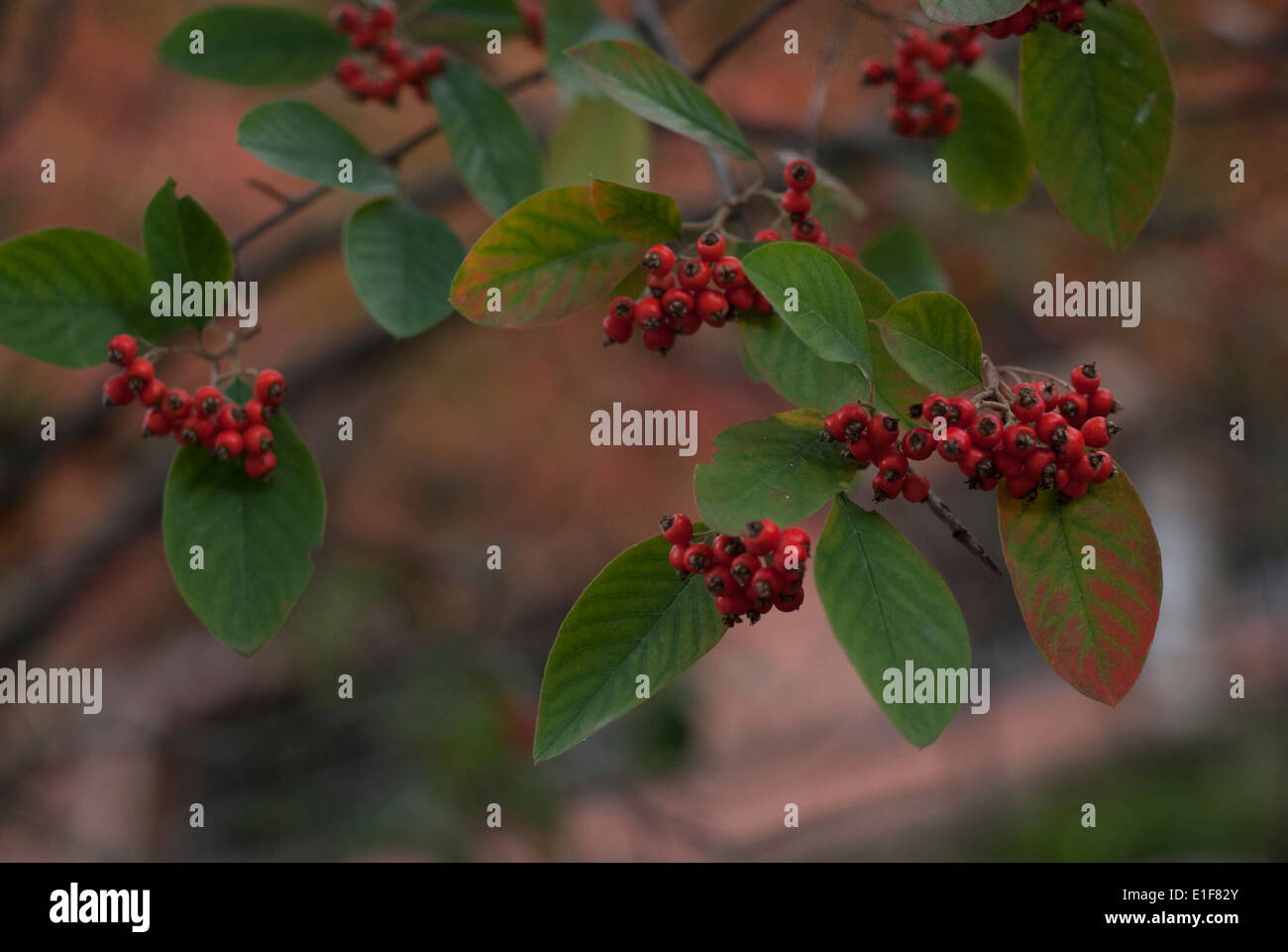 Tree Branch With Small Red Berries Stock Photo 69791763 Alamy