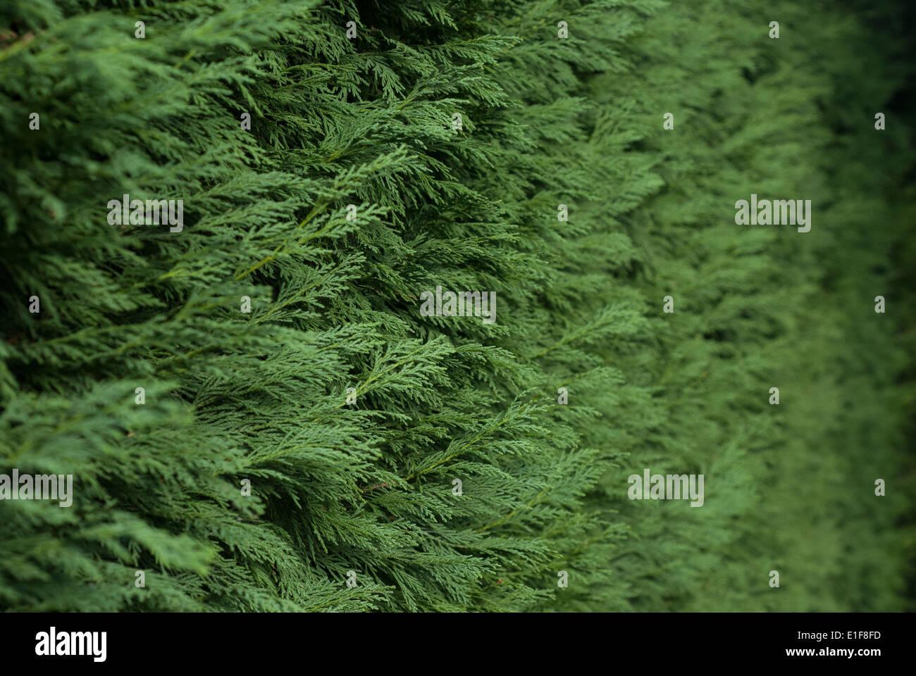 Conifer Hedge - Stock Image