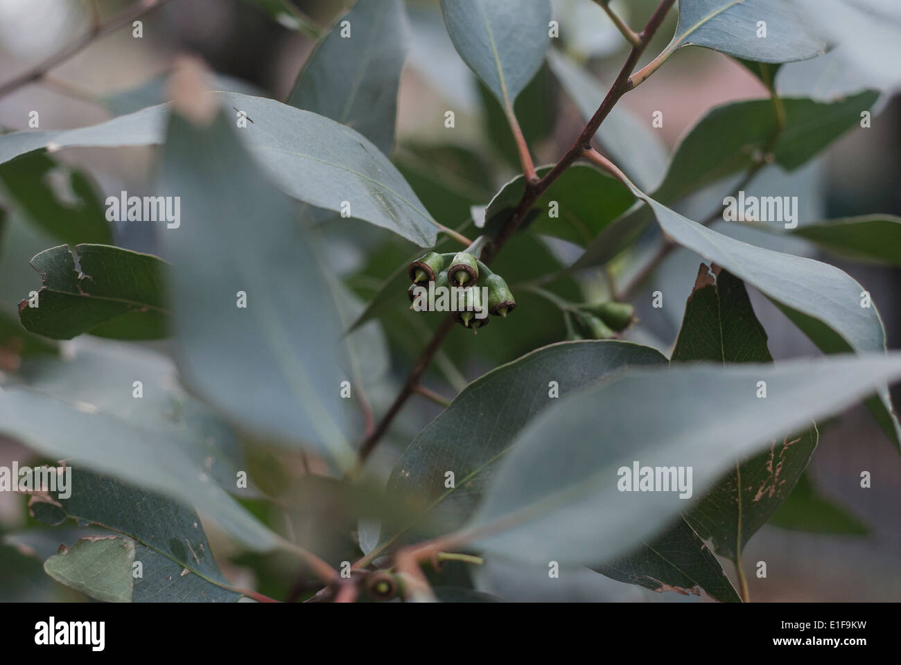 Young Gum Tree Leaves - Stock Image