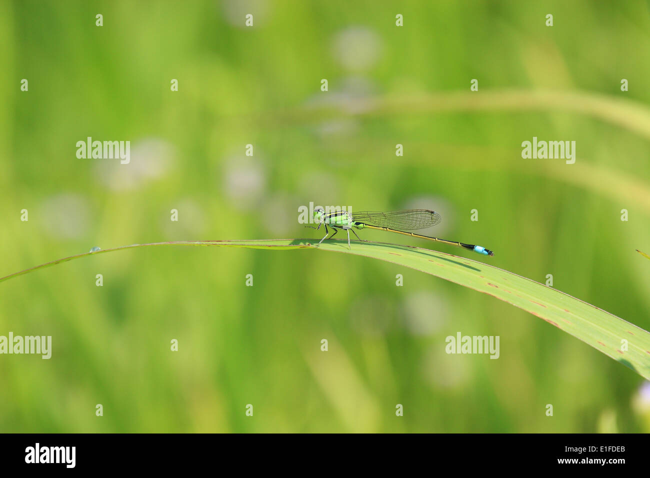 close, up, macro, thailand, asia, focus, Dragonfly, Northern hemisphere - Stock Image