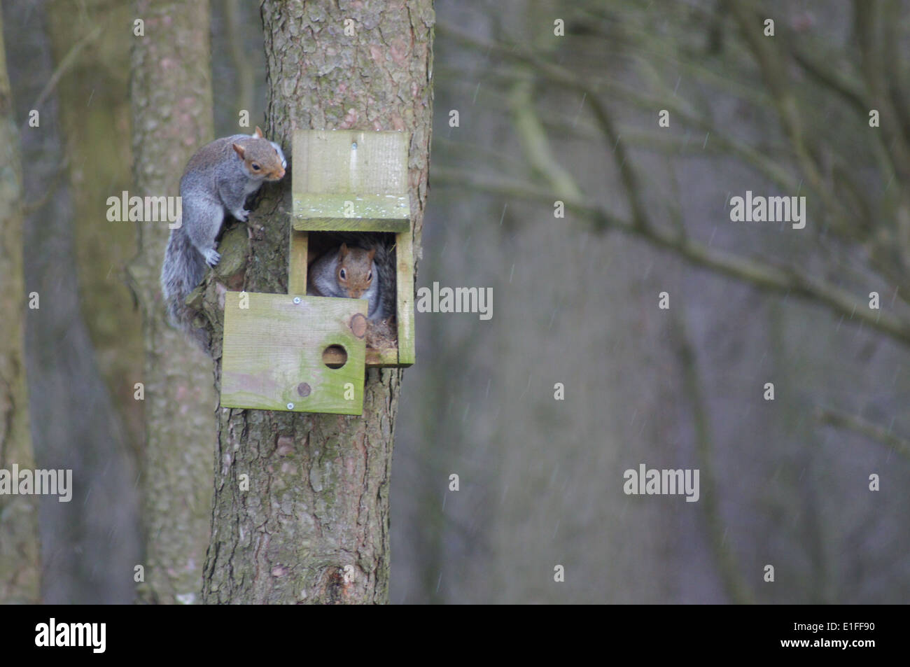 Two Grey Squirrels playing hide and seek Stock Photo