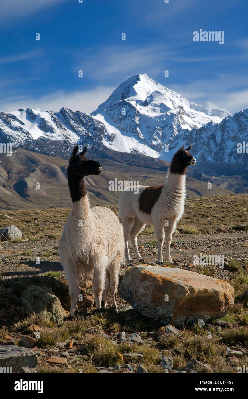 Llamas (Lama glama). On the background the Huayna Potosi mountain (6088mts). Cordillera Real. Near La Paz. Bolivia - Stock Image