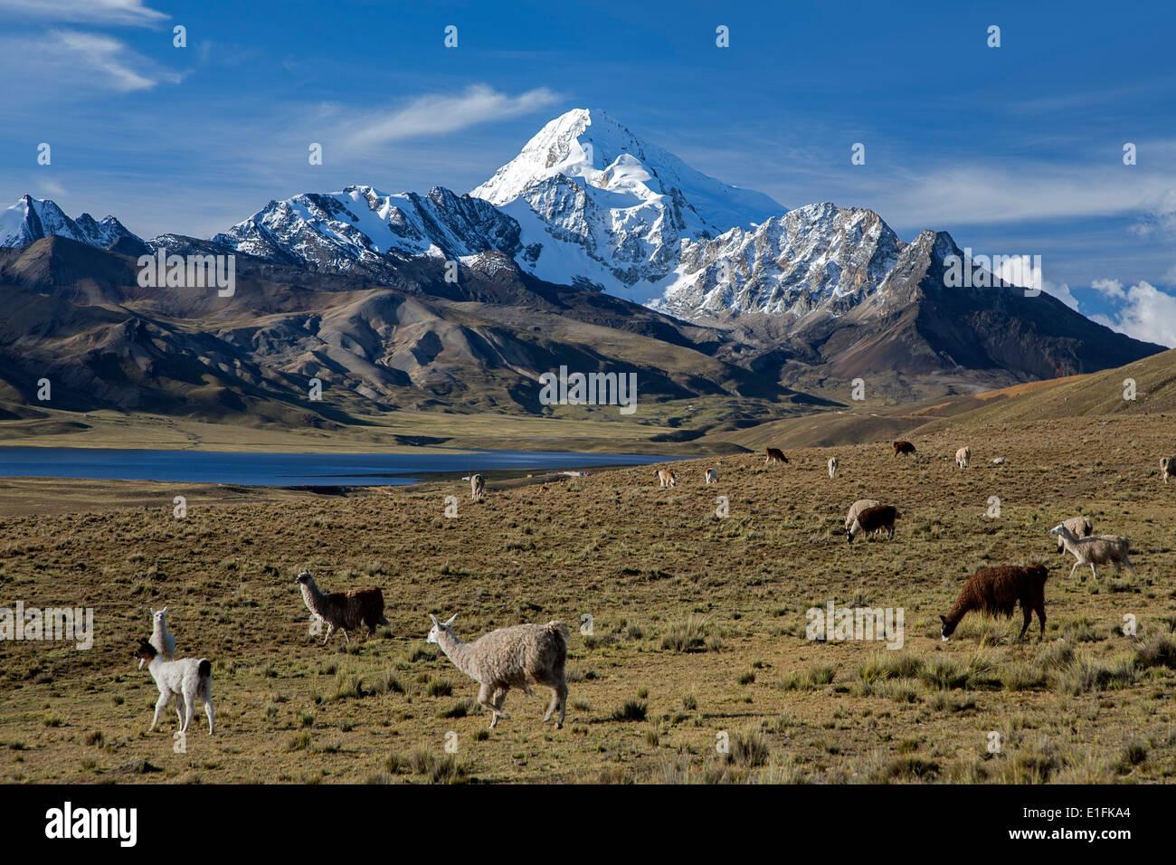 Pack of llamas and Huayna Potosi mountain (6088mts). Cordillera Real. Bolivia - Stock Image