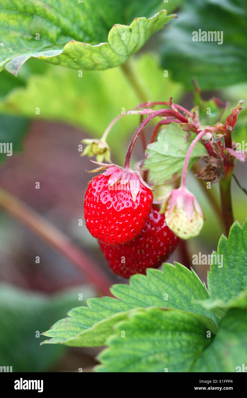 Fresh strawberries plant Stock Photo